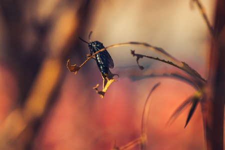 macro image of a black ground beetle sits on a branch