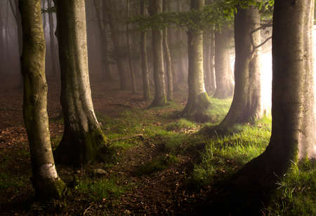 mystical forest: Morning light in a forest with fog in the Basque Country, Spain.