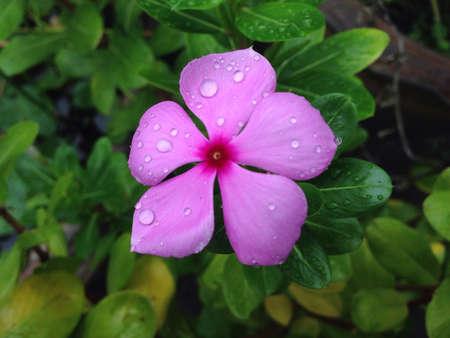 Vinca flower on rainy day.