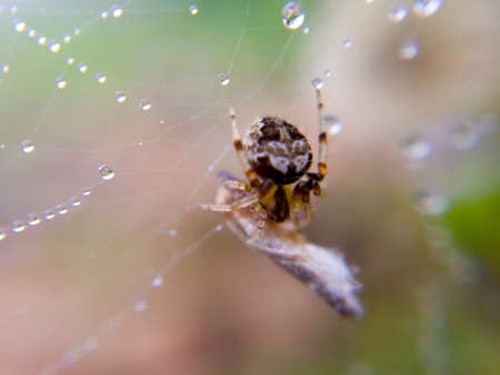 Macro image of a small spider is on dewy nest and its baitn is wrapped in fiber, which will soon become its food.