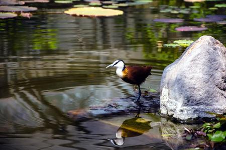 waterfowl: Waterfowl on pond Stock Photo