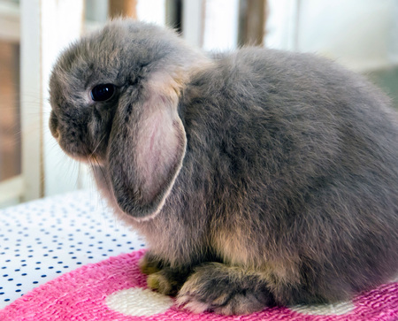 lop: Grey holland lop Rabbit standing on Cushion