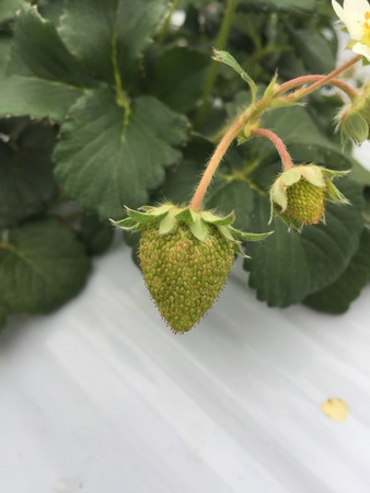 immature: Immature strawberry