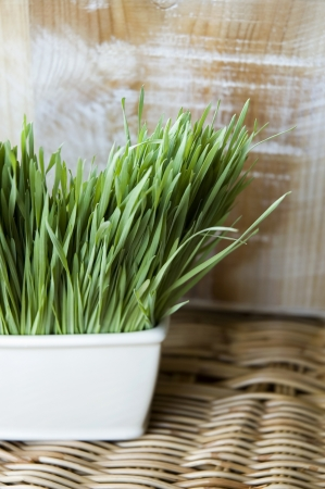wheatgrass pot in natural concept