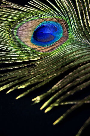 detail of colorful peacock feather