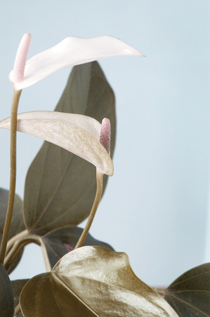 greenish blue: beautiful shape of Anthurium flower in pastel shade