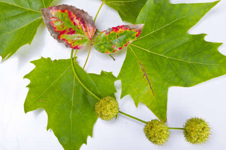 farbe: Sheets and fruits of an American sycamore