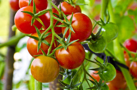 pertaining: Cherry tomatoes range in size from a thumbtip up to the size of a golf ball, and can range from being spherical to slightly oblong in shape. Stock Photo