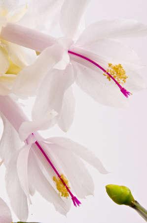 Christmas cactus - Schlumbergera truncata