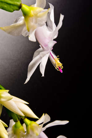 Christmas cactus - Schlumbergera truncata photo