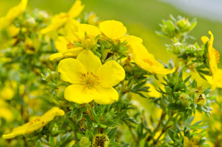 Oenothera Stock Photo