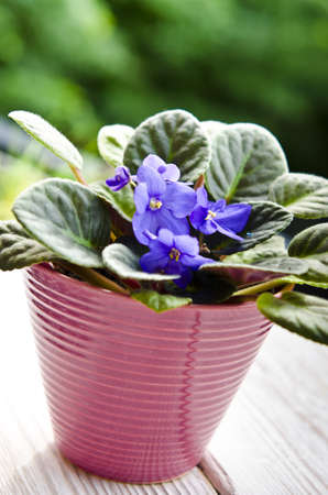 African violet photo
