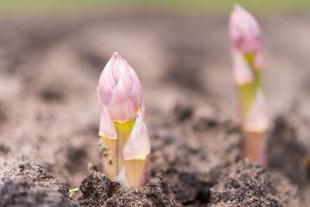 Asparagus on the field