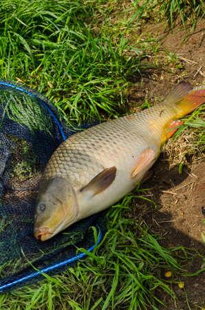 carp, freshwater fish Stock Photo - 19712732
