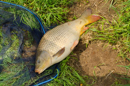 carp, freshwater fish Stock Photo - 19712775