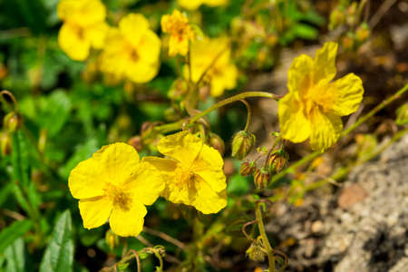 rock rose flowers photo