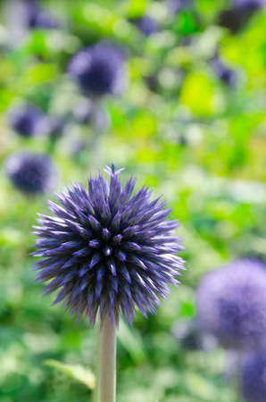 blau:  Blooming blau Allium giganteum