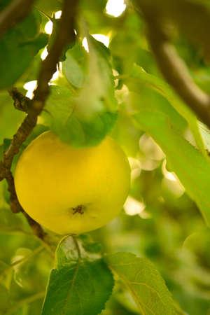 yellow apples photo