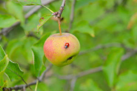 apple and ladybird  photo
