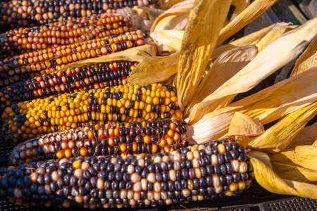 colorful corn photo