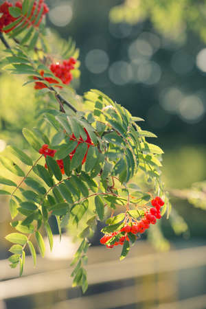 ashberry: Sorbus aucuparia