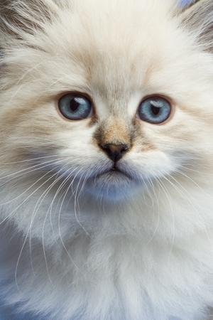 little kitten close portrait looking straight