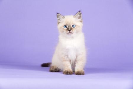 Harige kleine kitten van Siberische ras met heldere blauwe ogen, zittend op een lila achtergrond. Stockfoto