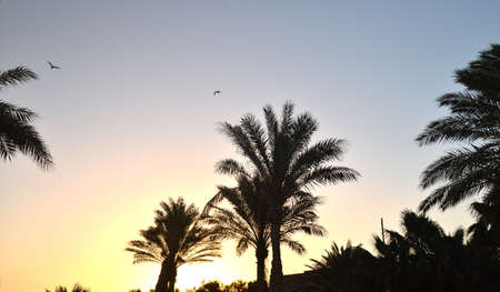 sunsets: Tropical landscape with palm trees silhouettes and birds flying at sunrise. African sunrises and sunsets