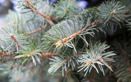 fur tree: Fur tree evergreen branches closeup macro view