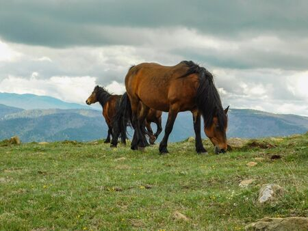 Wild horses in the natural setting of the mountains Stolovi Serbia