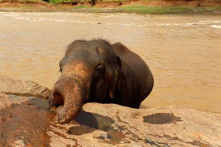 Little elephants bathes in the river. Sri Lanka