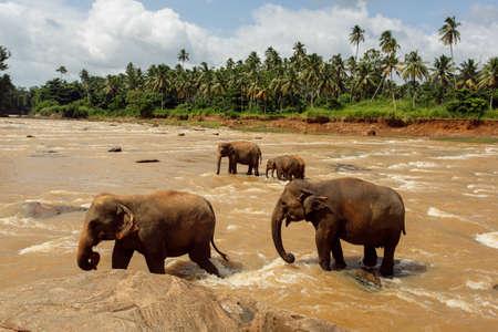 Kudde olifanten in Sri Lanka