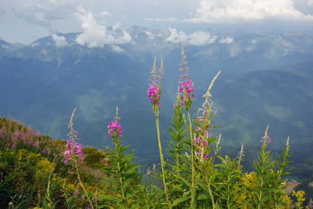 Roza Khutor Plateau Summer Alpine Ski Resort Landscape, Sochi, Russia. Close Up Of Alpine Meadow On A Background Of Caucasian Mountains