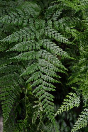 silver fern: green leaves of a fern plant summer