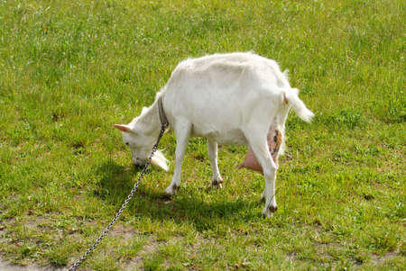 confide: white goat on the meadow eating grass