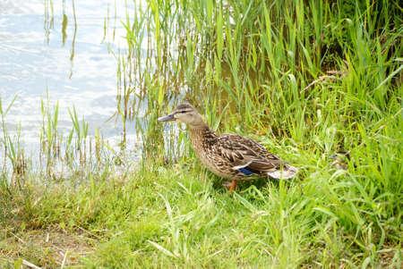 hijos: pato con la descendencia