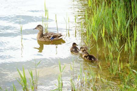 the offspring: pato con la descendencia