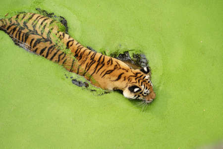 Tiger in bath  photo