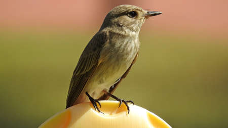 Young spotted flycatcher sitting in the garden