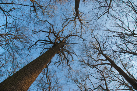 treetops: Leafless treetops and blue sky Stock Photo