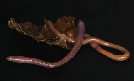lombriz de tierra: Todav�a vida con la hoja de lombrices y seco Foto de archivo