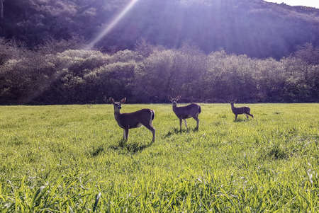 Three deer on a grassy field