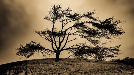 California Cypress in sepia tone Stock Photo