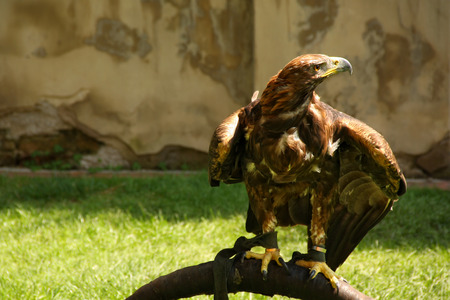 aigle royal: Aigle royal dans le parc