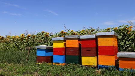 Row of colorful wooden beehives with sunflowers in the background