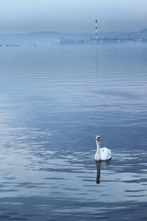 Beautiful swan swims in the river Danube