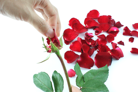 pluck: Plucking off rose petals while counting to decide Stock Photo