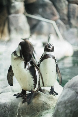 A penguin in a zoo staring at the camera with other penguins in the background
