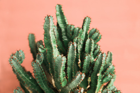 green Cactus on the pink background natural lightMinimal creative stillife 스톡 콘텐츠