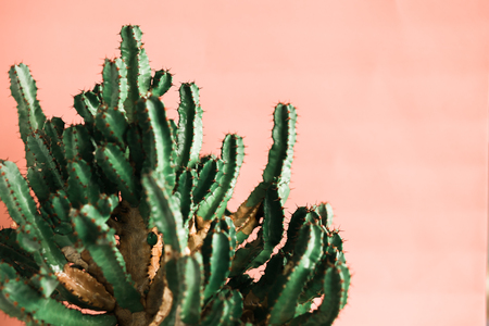 Green cactus on pink background natural light. Minimal creative style